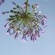 vanDaalen buiten tuinontwerp Agapanthus groen en grijs Naaldwijk 1